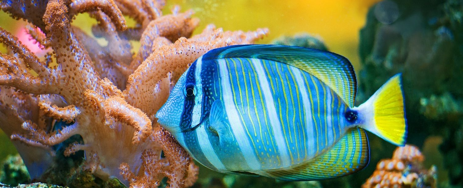blue stripped fish