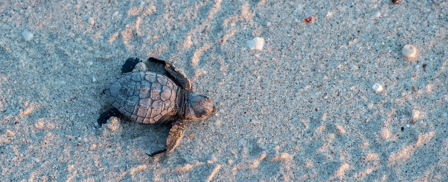 newborn baby green golfina turtle approaching sea